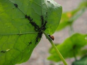 Focus sur une coccinelle et des pucerons sur une grande feuille verte