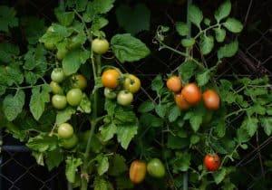 Tomates semis et récolte
